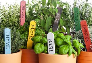 Buy herb plants online