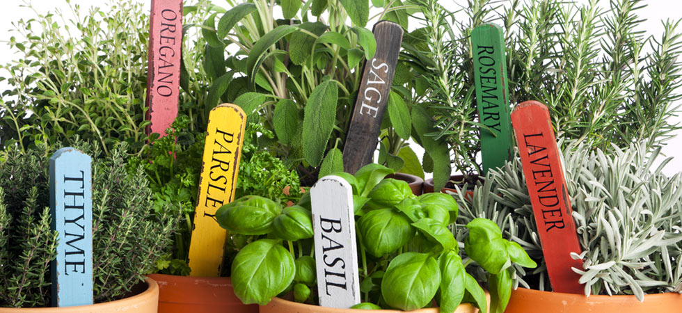 Buy herb plants online from Hooksgreen Herbs